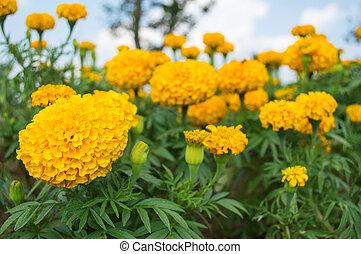 マリーゴールド, 庭, 黄色