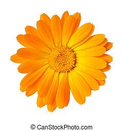 マリーゴールド, 背景, 隔離された, 黄色の花, 白