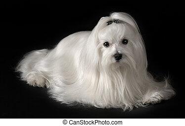 マルタ人, 肖像画, 犬