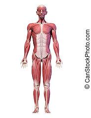マレ, フルである, システム, 数字, 前部, ビュー。, 体, 筋肉, 人間