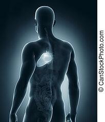マレ, 心, 解剖学, 後の視野