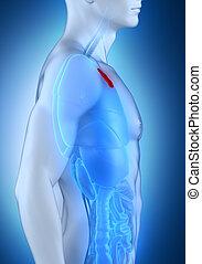 マレ, 胸腺, 解剖学, 横の視野
