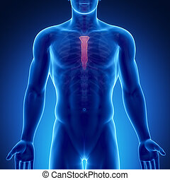 マレ, 骨, 解剖学, 胸骨