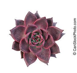 ミニチュア, みずみずしい, 植物