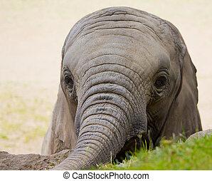 ミニ, 象