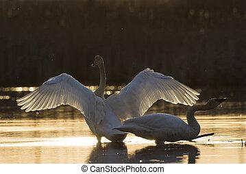 ミネソタ, trumpter, 湿地, 対, 日没, 白鳥