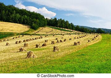 ムギの収穫