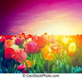 ムード, sky., チューリップ, 日没, 芸術的, フィールド, 花