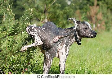 メキシコ人, -, 犬, xoloitzcuintle, 肖像画, 毛のない