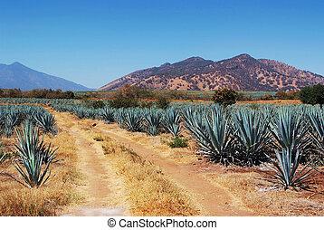 メキシコ\, tequila, lanscape
