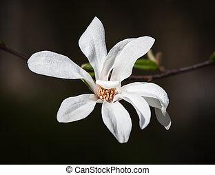 モクレンの木, 咲く