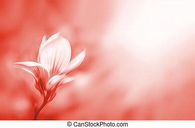 モクレン, イメージ, 春, 開くこと, 柔らかい, 花, time., フォーカス