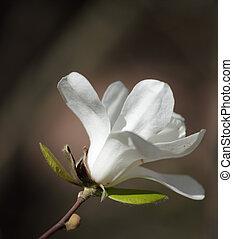モクレン, 花