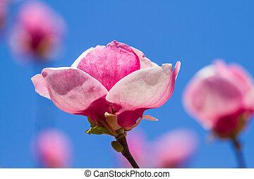 モクレン, 花, 咲く