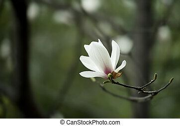 モクレン, denudata, 花
