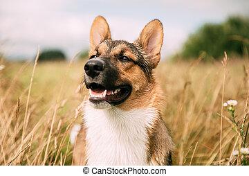 モデル, 肖像画, 品種, 終わり, 乾きなさい, 草, 混ぜられた, 夏, dog., 犬, 面白い