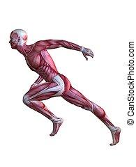 モデル, 3d, 筋肉
