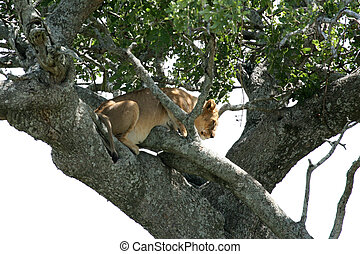 モデル, serengeti, 木, -, ライオン, アフリカ