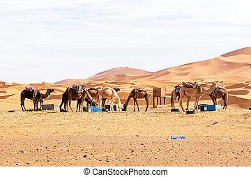 モロッコ, ラクダ, 砂漠