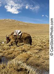ヤク, 春, チベット, 陶磁器, 牧草