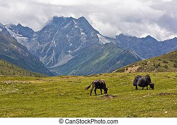 ヤク, 高地, チベット人, 牧草