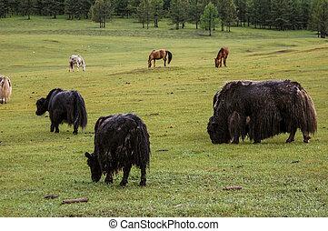 ヤク, mongolia