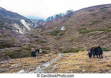 ヤク, nepal., 牧草, ヒマラヤ山脈