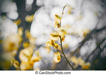 ヤナギ, ブランチ, 曲がった, 黄色の花, 早く, 春, blossomed