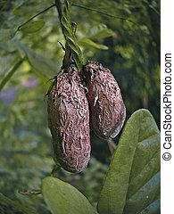 ヤムイモ, 塊茎, 航空写真, より大きい