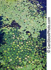 ユリ, caltrops, 葉, 水