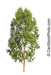 ユーカリ, 北東, 木, isol, 熱帯 木, タイ