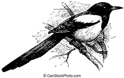 ユーラシア人, 鳥, かささぎ