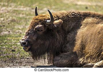 ヨーロッパ, 動物, 自然, -, 生きている, 予備, バイソン