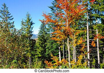 ヨーロッパ, 秋, 絵のよう, forest., ウクライナ, carpathians