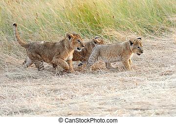 ライオン幼獣