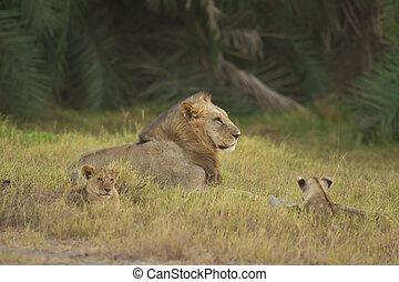 ライオン, そして, 彼の, 幼獣, 中に, ∥, サバンナ
