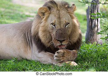 ライオン, サファリの上に, 中に, ザンビア