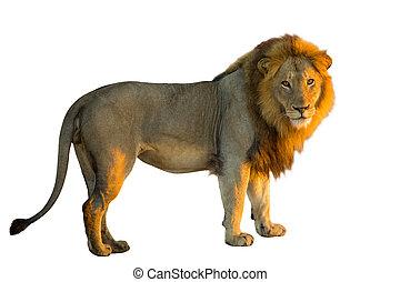 ライオン, 側