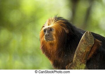 ライオン, golden-headed, tamarin