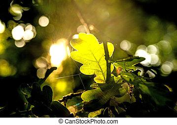 ライト, オーク葉, 背中