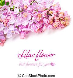 ライラック, 春, -, 背景, 花, 花