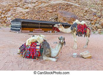 ラクダ, 砂漠, ラム酒, ワジ