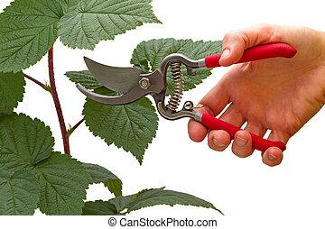 ラズベリー, pruner, 庭, ブランチ, 手