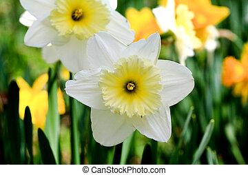 ∥, ラッパズイセン, 咲く, 中に, 春
