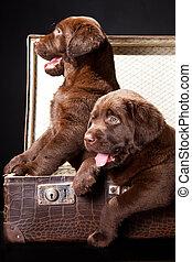 ラブラドル, 型, 2, スーツケース, 子犬, レトリーバー