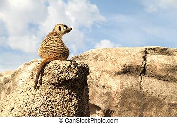 リラックスした, meerkat