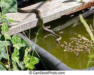 リング, 水, ヘビ