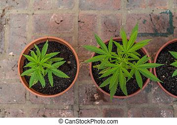 レクリエーションである, marihuana, 農業。, drug., 家, plants.