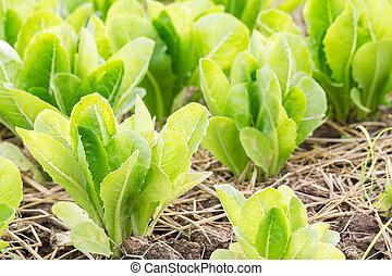 レタス, 植物, 緑