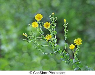 レタス, 花, 植物